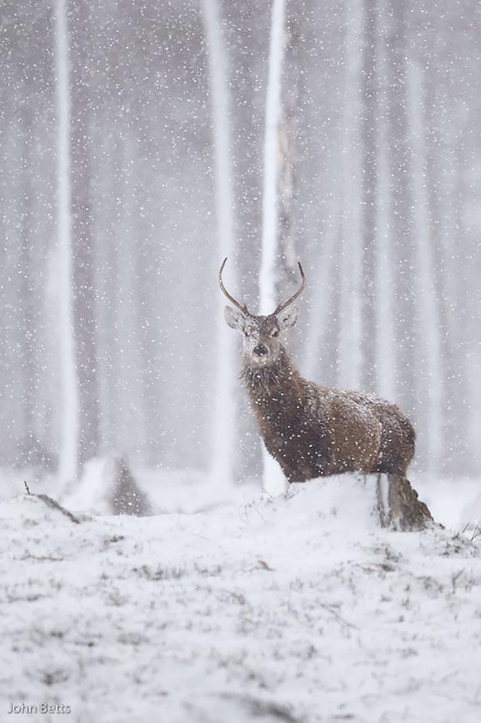 Winter-Deer-Photography-John-Betts