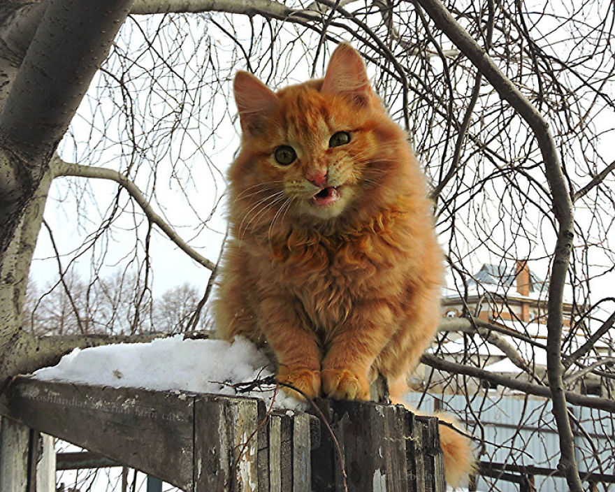 Siberian Farm Cats Have Absolutely Taken Over This Farmer ...