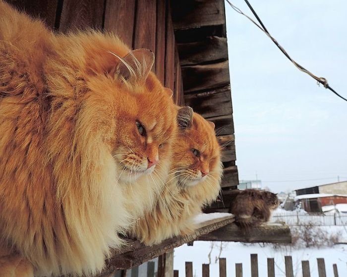 Russian Farmer Takes Stunning Photos Of Her Many Siberian Cats, And They're Absolutely Majestic