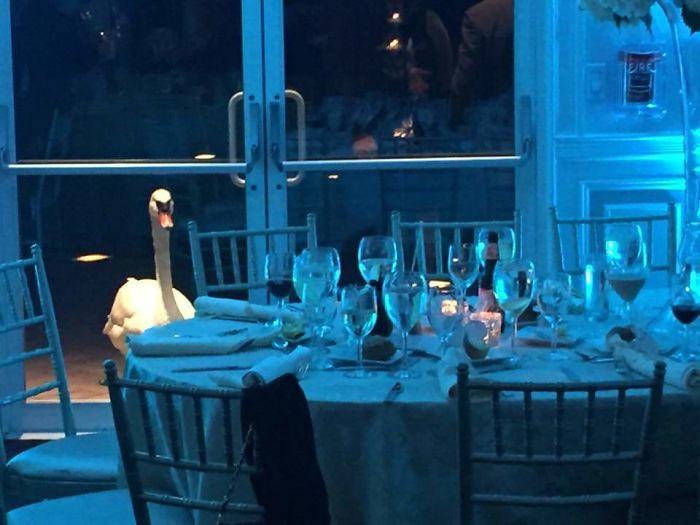 Este cisne no paraba de mirar lo que ocurría dentro de esta boda