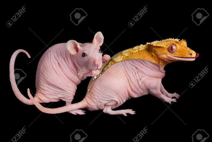 A Dwarf Hairless Rat Unzips Her Friend To Reveal A Crested Gecko Underneath