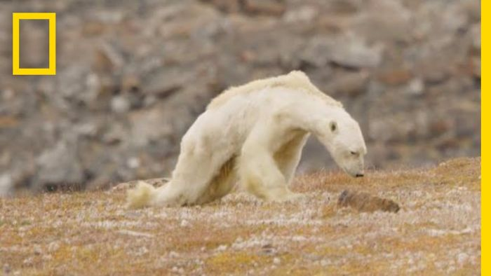 Video In Which Skeletal Polar Bear Seeks Food Will Make You Cry
