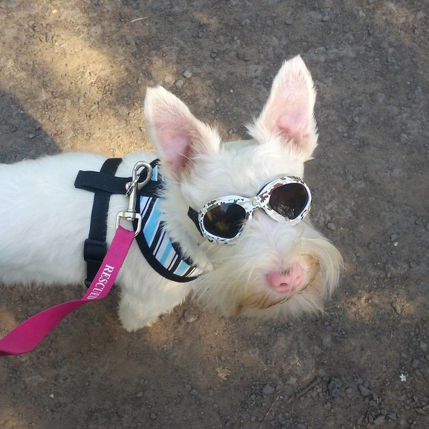 Albino Puppy Wears Special Sunglasses For Protection To Survive