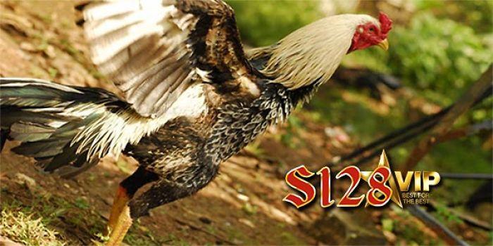 Cara Mengenali Ciri Khas S128 Adu Ayam Bangkok F1