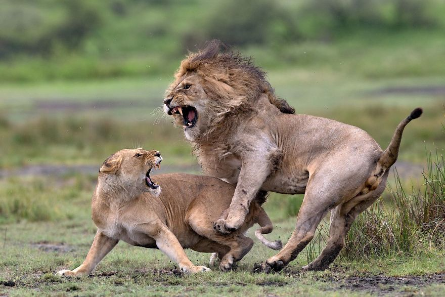 Love Fighting By Pierluigi Rizzato (Remarkable Award In Animals In Their Environment Category)