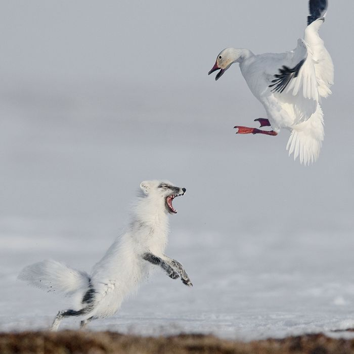 Attack By Sergey Gorshkov (1st In Animals In Their Environment Category)