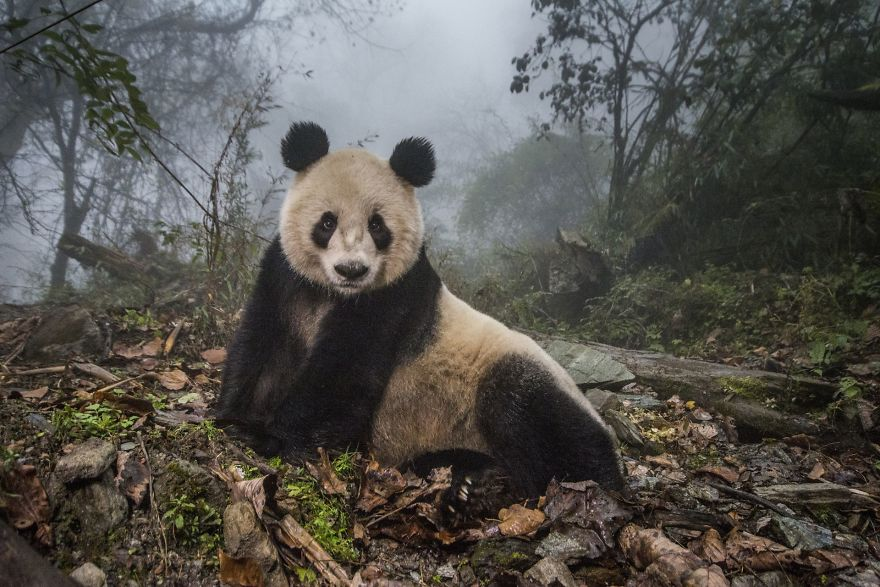 Pandas Gone Wild By Ami Vitale (2nd In Animals In Their Environment Category)