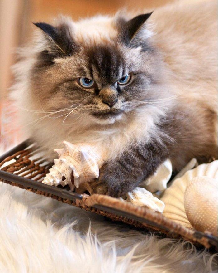 Angry-Grumpy-Cat-Merlin-Ragdoll