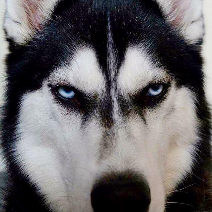 Ever-dissatisfied Husky that hates Christmas | LikeWorld