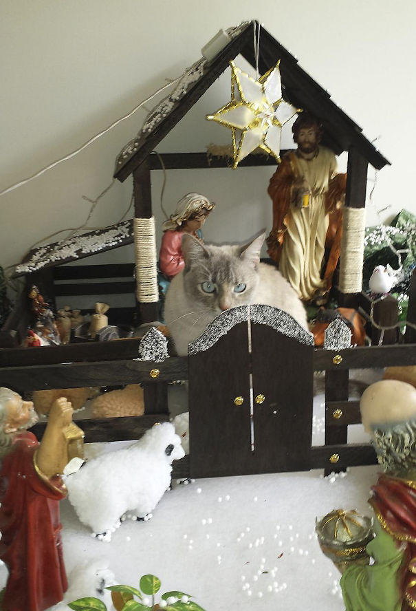 Huge Sheep In The Nativity Scene At Our House