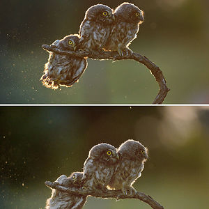 """Overall Winner 2017 """"Help"""" And Winner Of Amazing Internet Portfolio Prize Tibor Kerccz For His Sequence Of 4 Owl Images"""