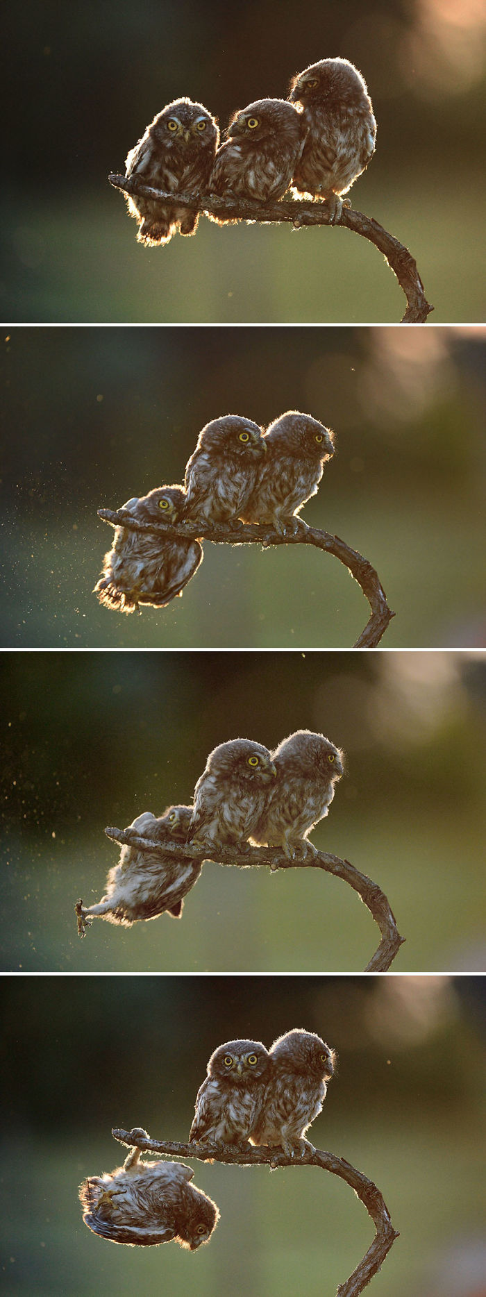 "Overall Winner 2017 ""Help"" And Winner Of Amazing Internet Portfolio Prize Tibor Kerccz For His Sequence Of 4 Owl Images"