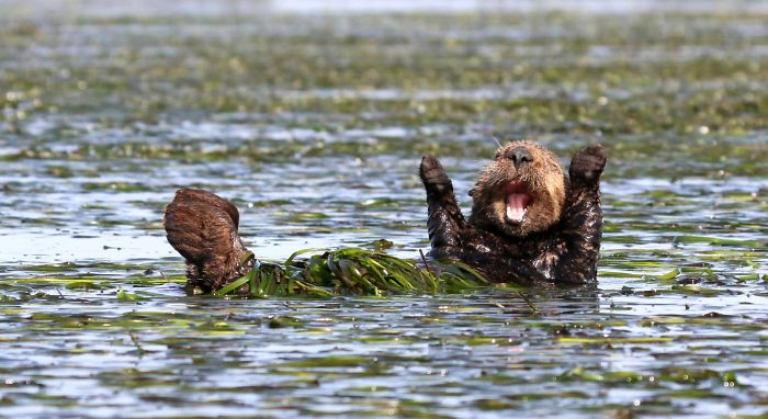 "Highly Commended ""Cheering-Sea-Otter"" By Penny Palmer"