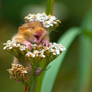 """Winner Of The Alex Walker's Serian On The Land Category """"The Laughing Dormouse"""" By Andrea Zampatti"""