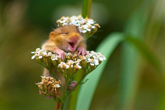 "Winner Of The Alex Walker's Serian On The Land Category ""The Laughing Dormouse"" By Andrea Zampatti"