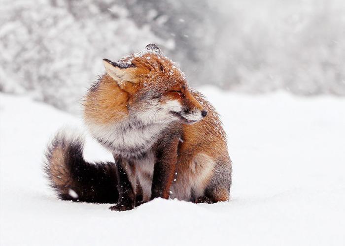 Photographer Documents Stunning Wild Foxes Enjoying The Snow