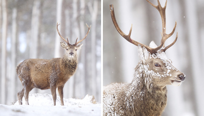 The Magnificent Deer Of Scotland In Winter By John Betts