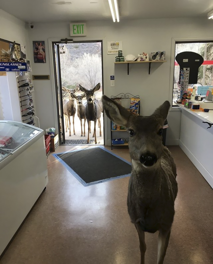 Deer Walks Into Store To Check Their Goods, Comes Back Later With Her Kids