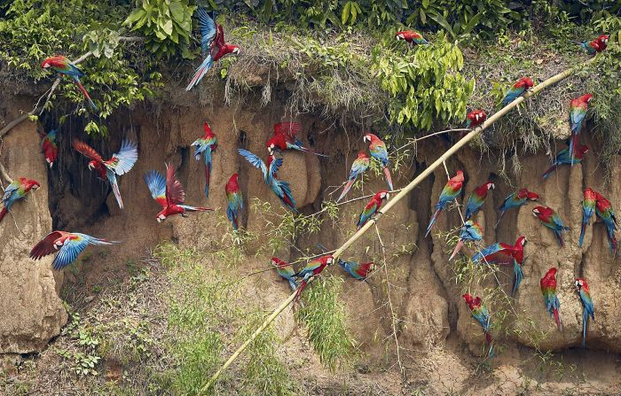 Green Winged Macaws On Claylick