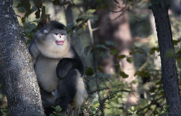Yunan Snub Nosed Monkey