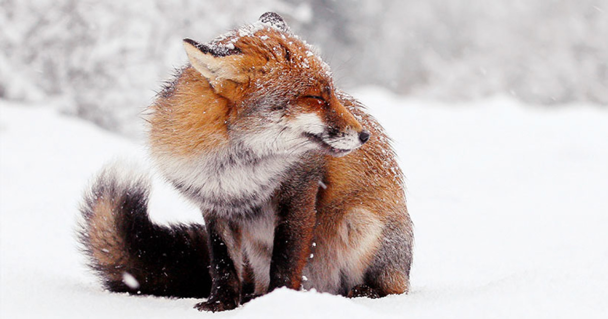 Photographer Documents Stunning Wild Foxes Enjoying The Snow