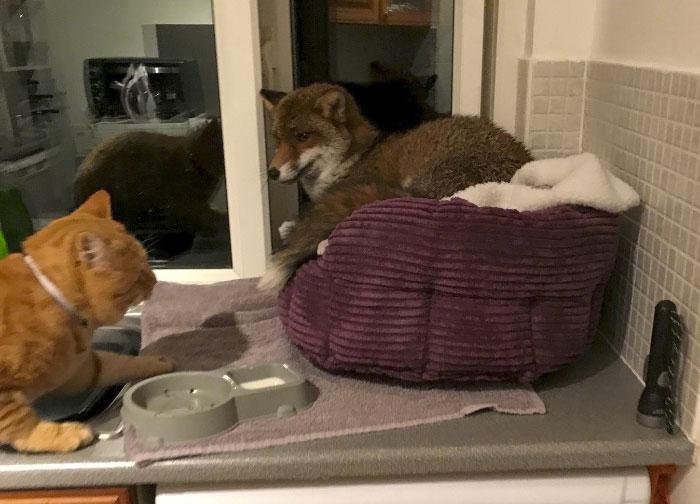 Una mujer encuentra a un zorro durmiendo en la cama de su gato, se sorprende por cómo actúa