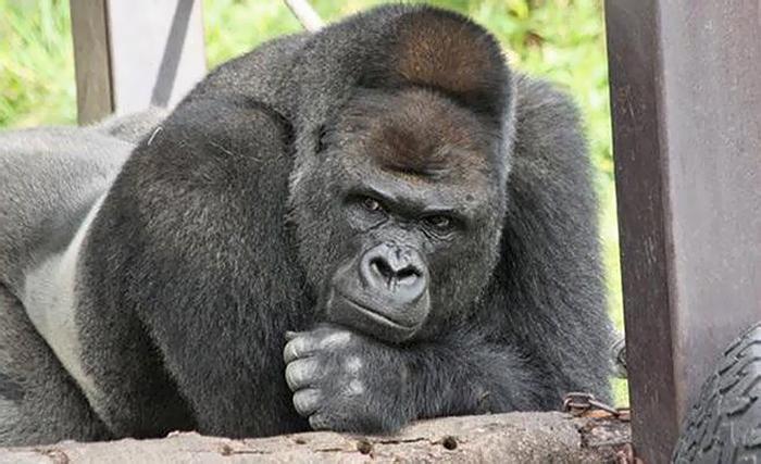 https://static.boredpanda.com/blog/wp-content/uploads/2017/12/handsome-gorilla-shabani-5a439cdbce2a3__700.jpg