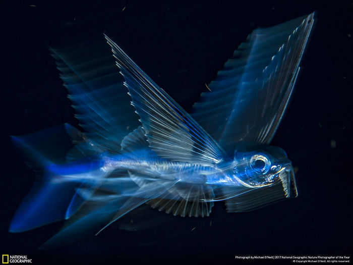 Third Place Winner, Underwater: Flying Fish In Motion, Michael O'neill