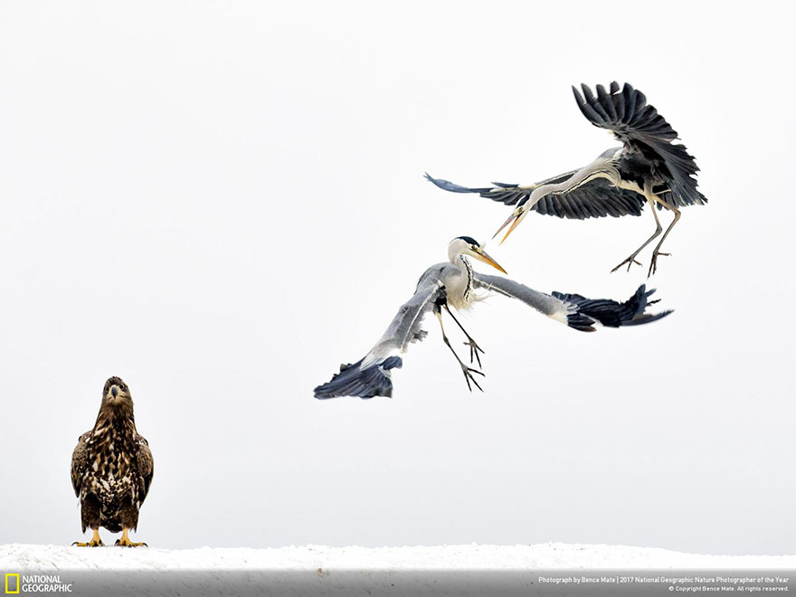 Third Place Winner, Wildlife: White Fighters, Bence Mate
