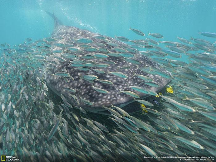 People's Choice: Whale Shark And Anchovies, Steve De Neef