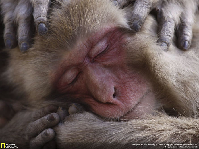 Honorable Mention, Wildlife: Macaque Maintenance, Lance Mcmillan