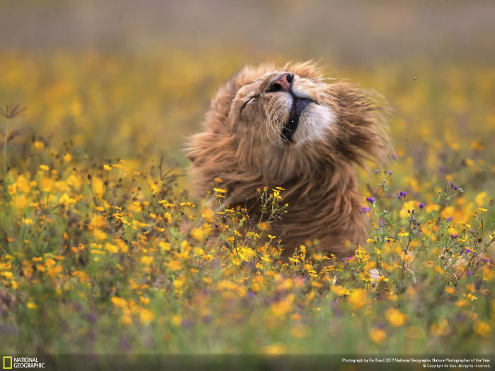 The Lion In The Sea Of Flowers, Ge Xiao