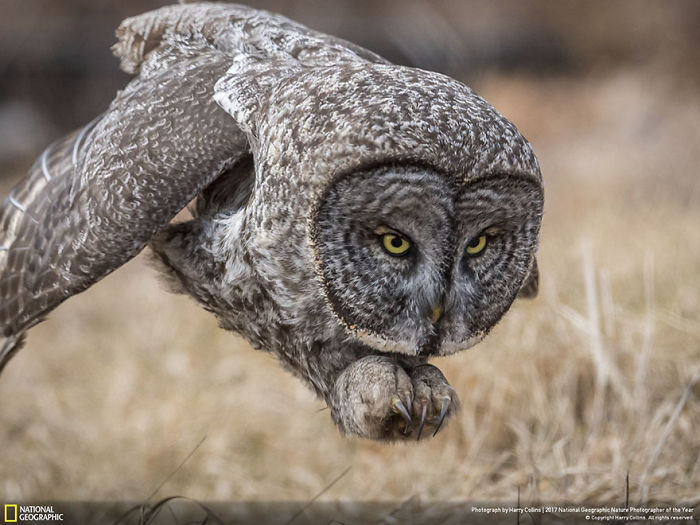 People's Choice, Wildlife: Great Gray Owl, Harry Collins