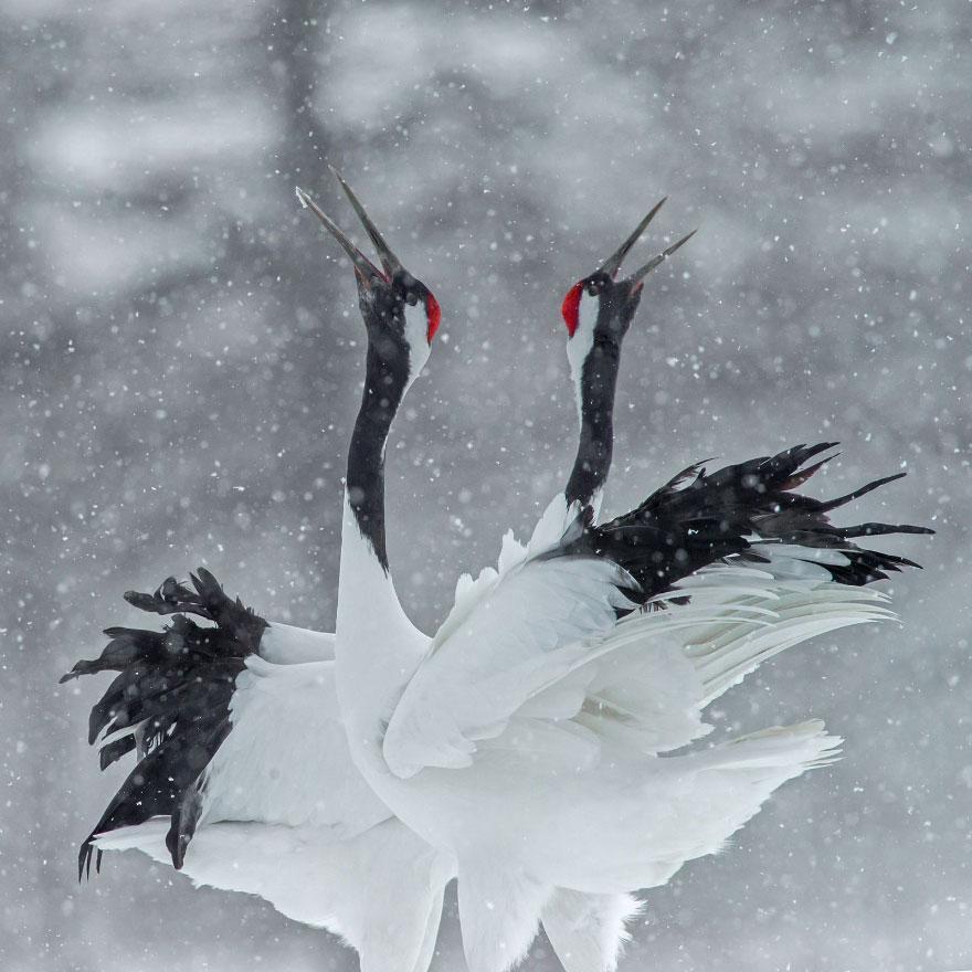 Snow Cranes, Kenny Chen
