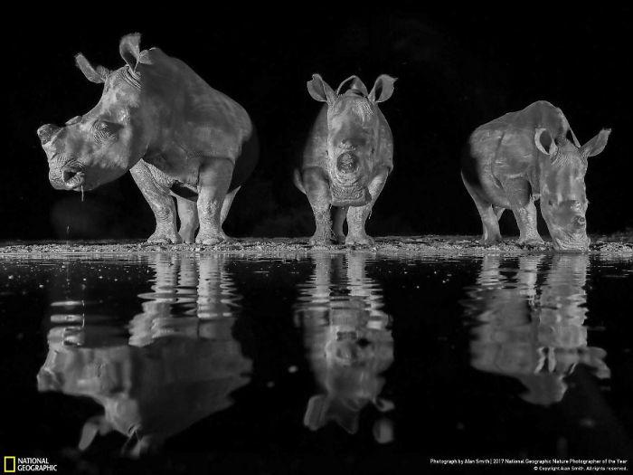 Three White Rhinos, Alan Smith