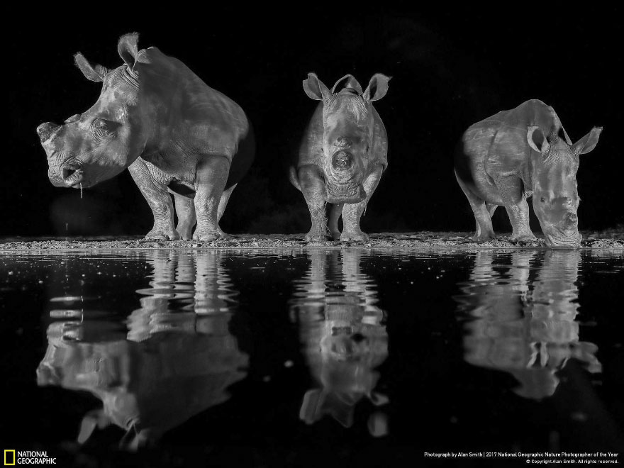 Three White Rhinos, Alan Smith