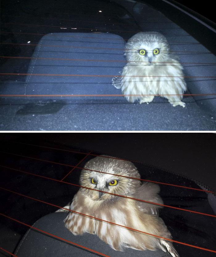 Estaba conduciendo con las ventanas abiertas en Las Vegas y se coló un búho en el coche. Estuve 3 horas pensando cómo sacarlo