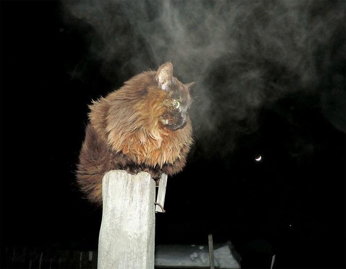 Siberian Cat