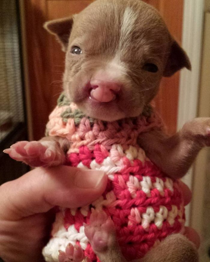 Foster Mom Refuses To Put Her Tiny Pit Bull To Sleep After It Was Born A Little Bit Different