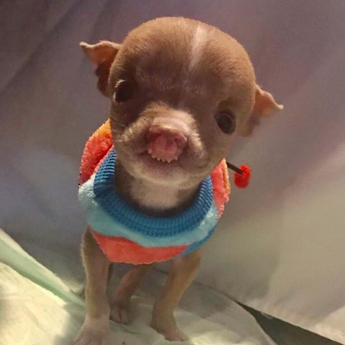 Foster mom refuses to put her tiny pit bull to sleep after it was meet sasha a 3 month old pit bull who is defying all odds in her struggle to stay alive voltagebd Choice Image
