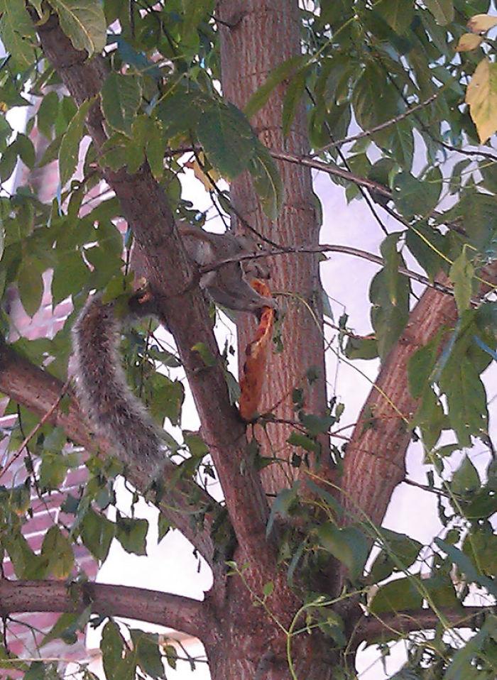 Un amigo me escribió que estaba viendo a una ardilla comiendo pizza en un árbol. Me tuvo que mandar la foto para que me lo creyera