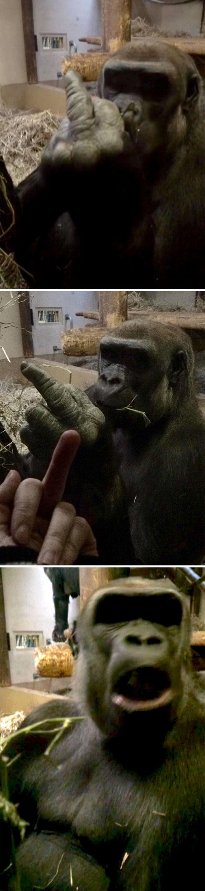 Un gorila me enseñó el dedo de en medio, así que le devolví el gesto y se ofendió muchísimo
