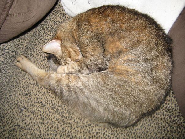 My Sleeping Cat Looks Like A Prawn.