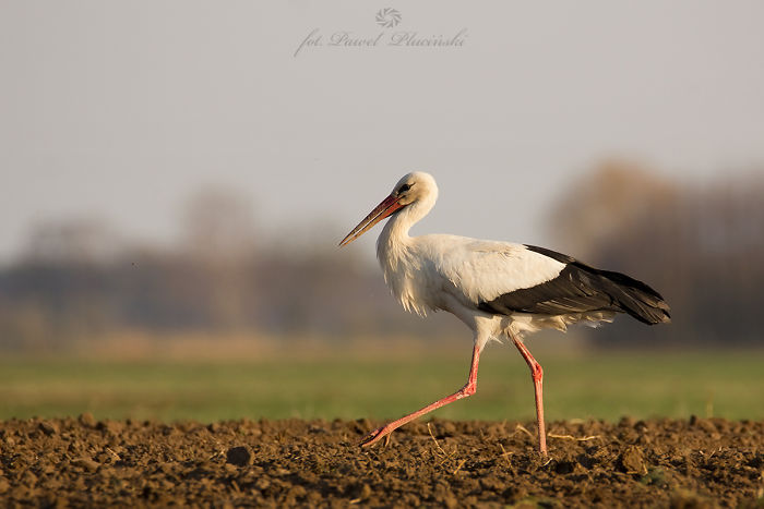 White Stork. Polish Bird