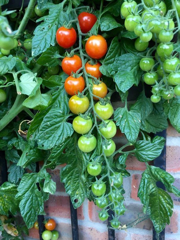 Living Tomato Ripeness Chart