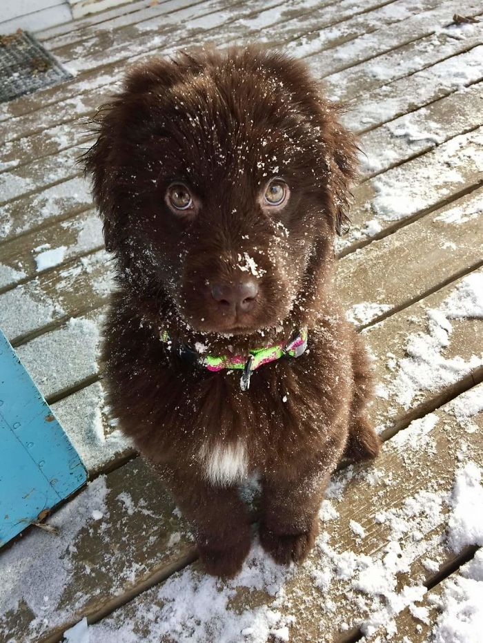 Baby Newfies First Snow Day