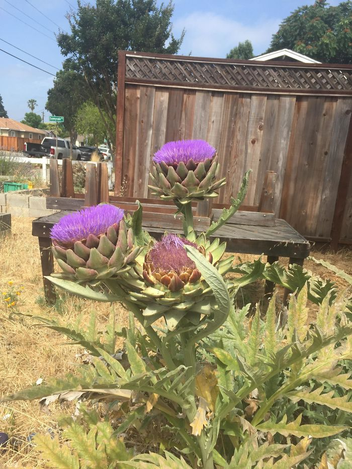 Artichokes Are Flowers, Here Is What They Look Like If Not Harvested For Consumption
