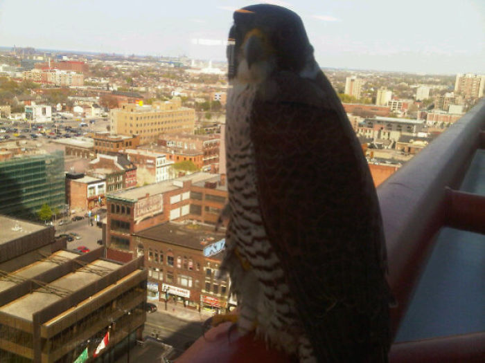 I Too Have A Workplace Falcon