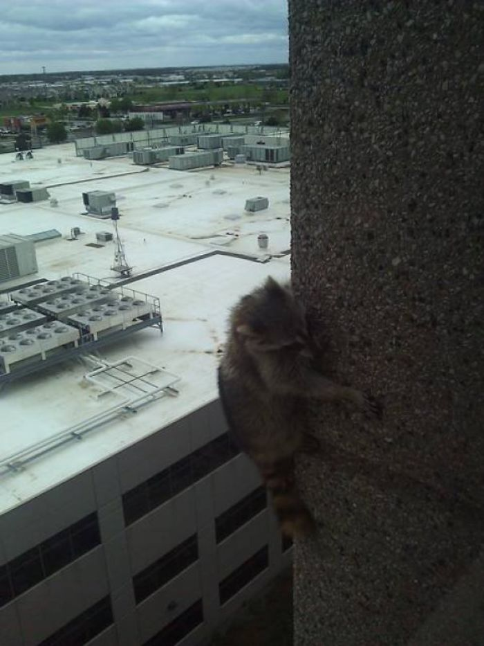 I See Your High Rise Birds! I Raise You A High Rise Racoon!