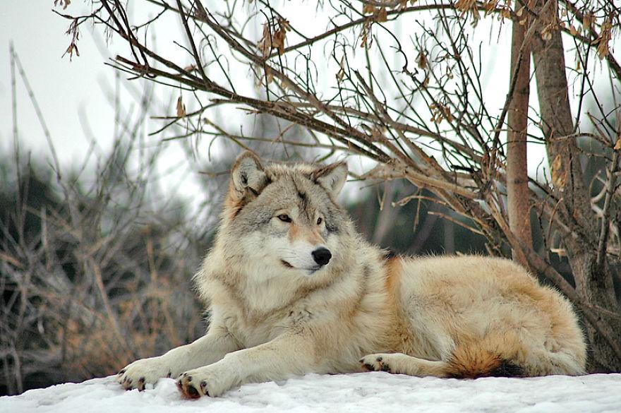 римский картинка лежащего волка зависит возраста